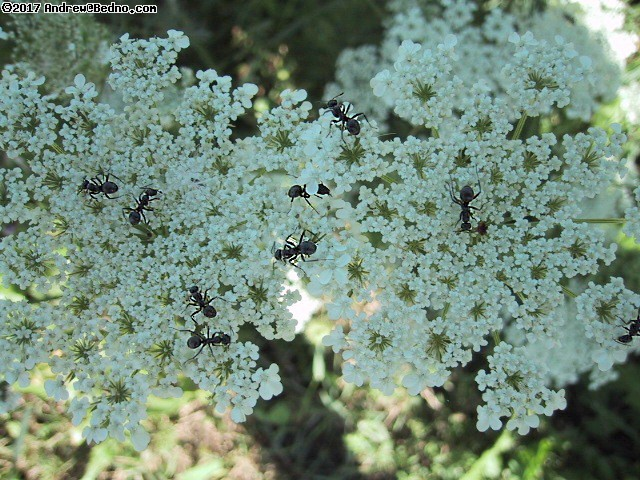 Ants tending their flowers. (click for next photo)