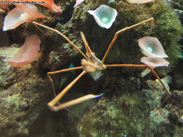 Bizarre crab, sold at many pet stores. (click for next photo)
