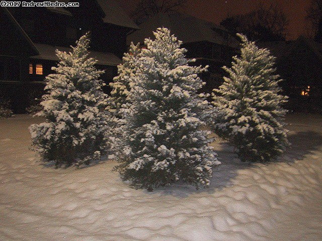 Snow covered evergreens. (click for next photo)