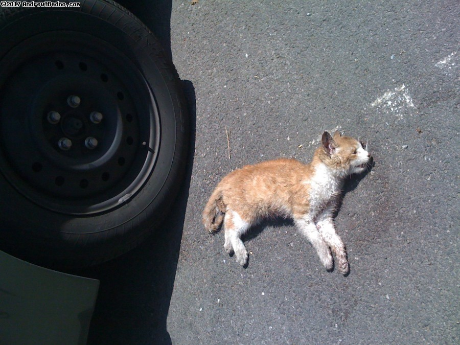 kitten killed by car. (click for next photo)