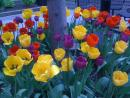 Tulips downtown. (click to zoom)