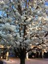 Tree in bloom (click to zoom)