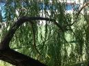 Climbing the willow tree. (click to zoom)